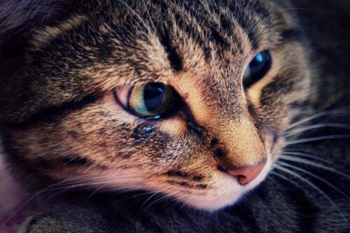 почему кошка плачет